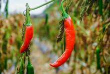 Red Chili Pepper Plantation. Yvon Village, South Korea