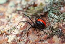 Australian Red-back Spider