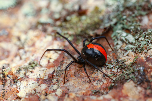 Papel de parede Australian Red-back spider