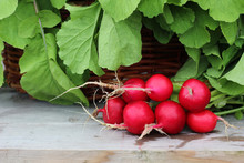 Fresh Radishes With Tops Closeup. Round Red Roots.