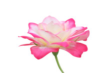 White Rose Flower With Pink Edge Blooming Isolated On White Background With Clipping Path
