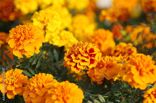 Fotografía  マリーゴールドの花