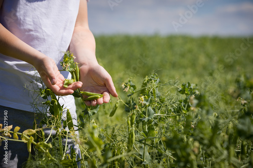 Children's hands are cleaning pea pod against the background of a large pea field. Kid boy eat organic peas. Healthy food, snacks.