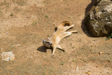 Close Up Of Meerkats In The Zoo