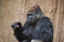 Gorilla Eats Carrots And Holds...