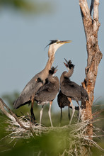 Great Blue Heron Nest With Babies Taken In Central MN In The Wild