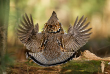 Ruffed Grouse Male Drumming On...