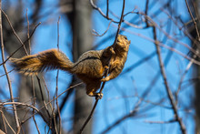 A Fox Squirrel (Sciurus Niger)...