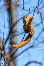 A Fox Squirrel (Sciurus Niger) Eating Buds From Tree In Metropolitan Detroit, Michigan, USA.