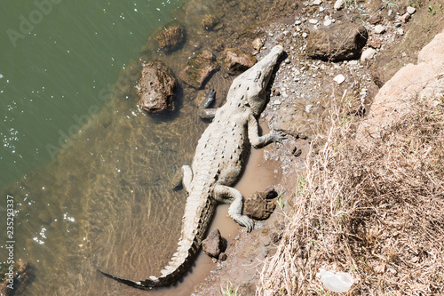 Canvas Prints Crocodile Riesiges weißes amerikanisches Krokodil am Rio Tarcoles in Costa Rica
