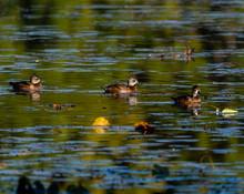 Three Female Ring-necked Ducks...
