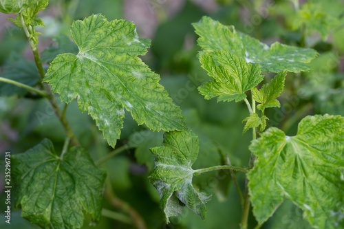Black currant diseases Canvas-taulu