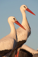 Close-up of white stork, Ciconia ciconia