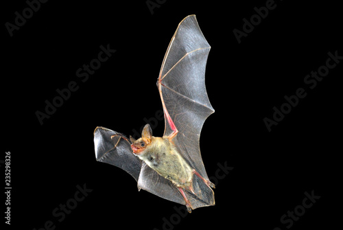 Stampa su Tela Flying bat with black background, Myotis myotis