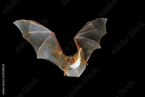 Fotografia Flying bat with black background, Myotis myotis