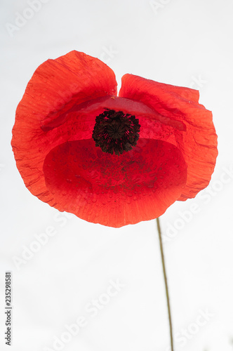 Fotobehang Klaprozen Red poppy flower with white background (Papaver rhoeas)