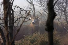 White-tailed Deer Buck With Hu...