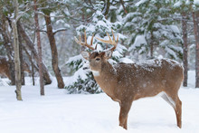 White-tailed Deer Buck With Snow On His Nose Standing In The Falling Snow During The Rut Season In Canada