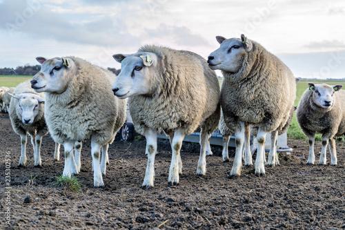 Fotoposter Schapen sheep at the Dutch island of Texel
