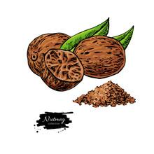 Nutmeg Spice Vector Drawing. Ground Seasoning Nut Sketch. Herbal Ingredient, Culinary And Cooking Flavor.