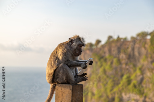 Poster de jardin Singe Monkey thief sitting with stolen mobile phone at sunset near Uluwatu temple, Bali island landscape. Indonesia.