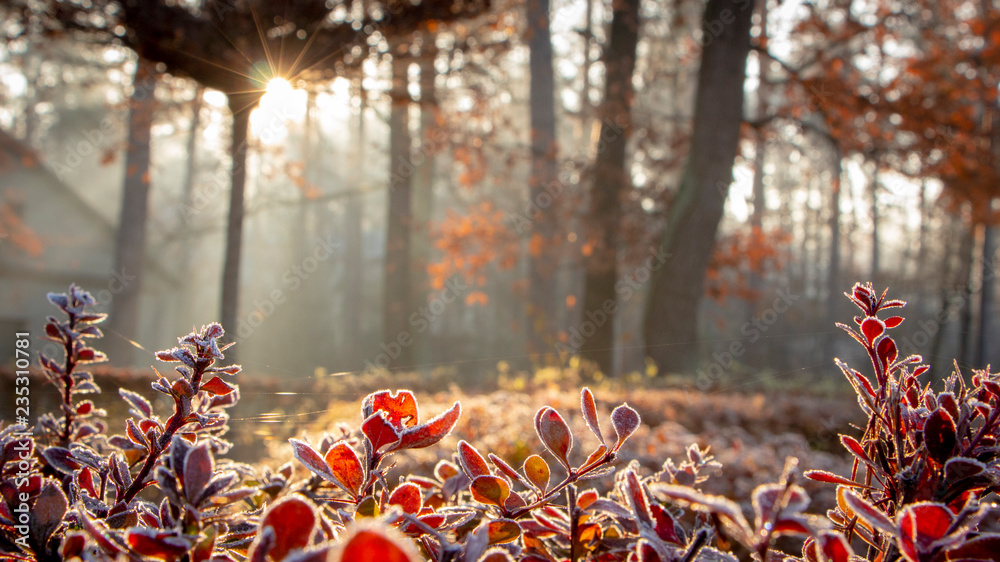 Fototapety, obrazy: Closeup of barberry leaves covered with morning frost