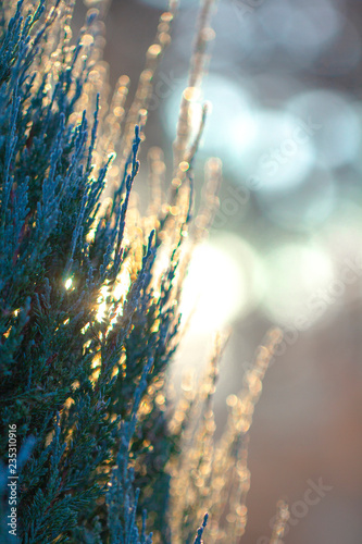 Green branches of the Tuya in the snow - Buy this stock