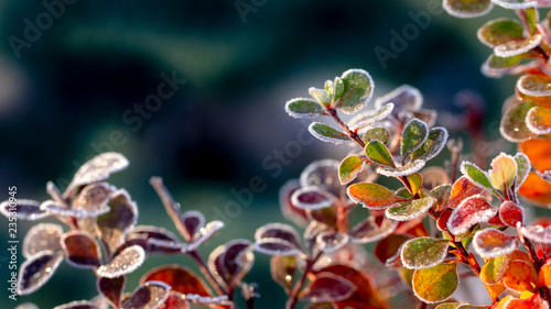 Tablou Canvas Closeup of barberry leaves covered with morning frost