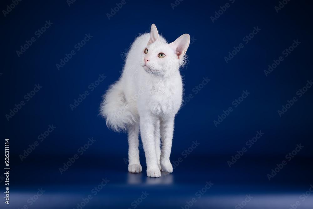 Fotografie, Obraz Don Sphynx cat on colored backgrounds