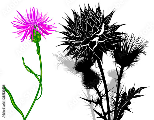 Fotografering milk thistle flowers isolated on white background