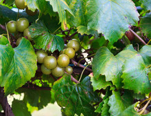 Muscadine Green Grapes Growing...