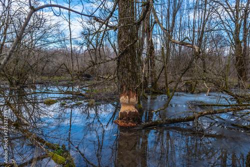 Naturschutzgebiet Bieber fällt Baum Canvas Print