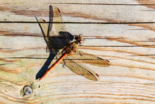 Red-veined Darter Dragonfly Resting On Wooden Panel With Shadow