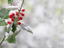 Holly (Ilex Aquifolium) Berries After A Snowfall In Winter