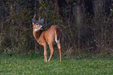 Whitetail Buck In A Field