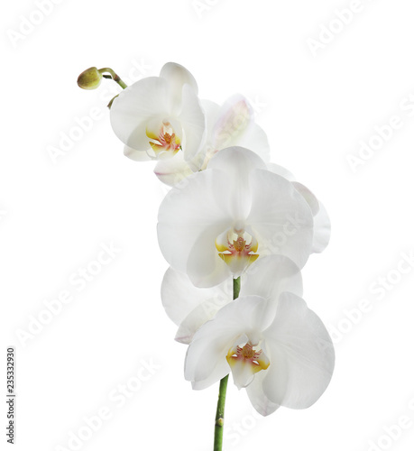 Branch with beautiful tropical orchid flowers on white background