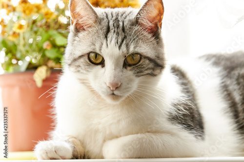 Cute cat of black and white color with yellow eyes is closely watching the events.