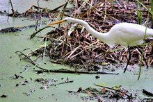 A White Egret In The Swamps Of...