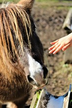 Spotted Shetland Pony In South Carolina