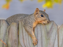 Fox Squirrel Resting On A Fence