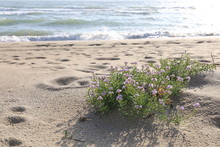 Sand Beach With Lilac Small Fl...