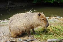 Kapybara Is Fed With Herbal Food