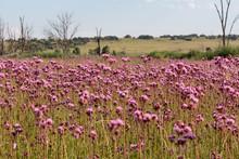 Landscape Of Pompom Weed
