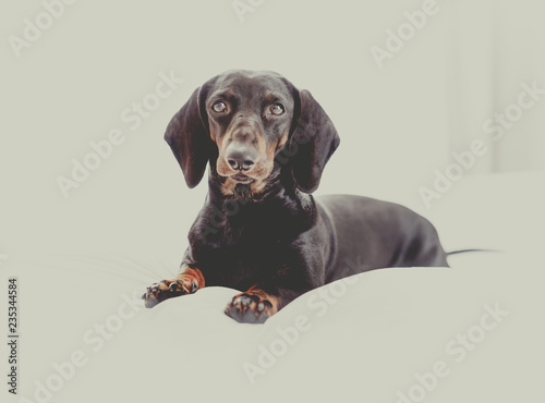 Keuken foto achterwand Crazy dog dog resting on bed at home