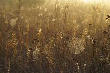 Dry grass and cobweb in dew drops