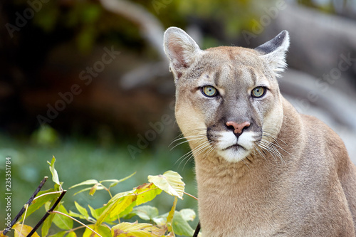 Portrait of Beautiful Puma. Cougar, mountain lion, puma, panther, striking pose, scene in the woods, wildlife America