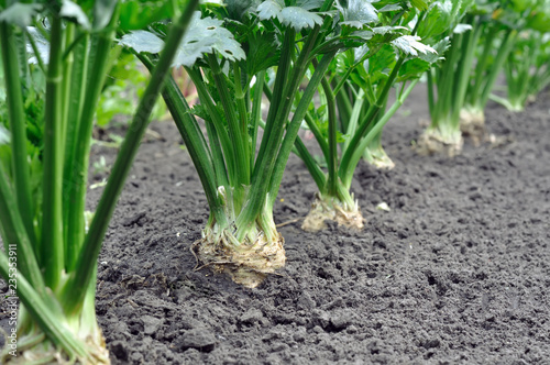 close-up of celery plantation (root vegetables)  in the vegetable garden
