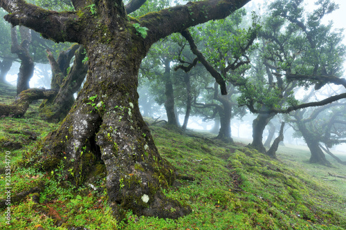 Old cedar tree in Fanal forest - Madeira island. Portugal. Canvas Print