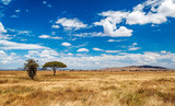 Fototapeta Sawanna - Acacias in Tanzania on a sunny day