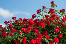 Red Roses With Buds On A Background Of A Green Bush. Bush Of Red Roses Is Blooming In The Background Of A Blue Sky With Clouds.
